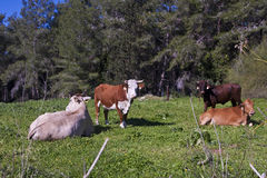 Kühe in der Wiese Lizenzfreies Stockbild