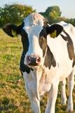 Kühe an der Wiese Lizenzfreie Stockfotos