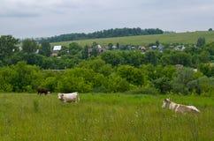 Kühe in der Wiese Stockfotografie