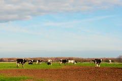 Kühe an der Wiese Stockfotografie