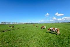 Kühe in der Wiese in einem typischen niederländischen Polder gestalten nahe Rott landschaftlich lizenzfreie stockfotografie