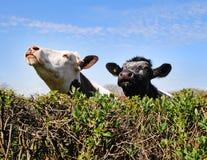 Kühe, die über einem Hedgerow blicken Stockbilder