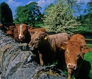 Kühe, die über Wand schauen. Stockfotografie