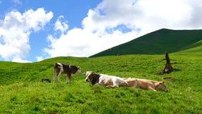Kühe, die auf Bergkuppe in den grünen Sommerbergen auf Hintergrund von Wolken liegen und weiden lassen stock video footage