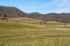 Kühe, die auf dem Gebiet weiden lassen Lizenzfreie Stockfotografie
