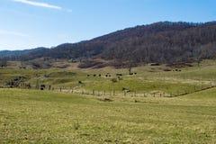 Kühe, die auf dem Gebiet - 2 weiden lassen Stockfotos