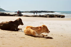 Kühe, die auf den Strand legen Lizenzfreies Stockfoto