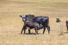 Kühe, die auf der Wiese weiden lassen Stockfotos