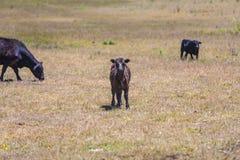 Kühe, die auf der Wiese weiden lassen Stockbilder