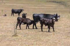 Kühe, die auf der Wiese weiden lassen Lizenzfreie Stockfotos