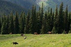 Kühe, die auf einem Feld im Sommer weiden lassen Stockbilder