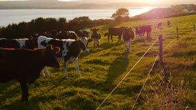 Kühe, die auf einem Gebiet in der niedrigen Abendsonne weiden lassen Lizenzfreies Stockbild