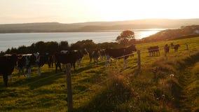 Kühe, die auf einem Gebiet in der niedrigen Abendsonne weiden lassen Stockbild