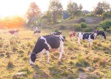 Kühe, die auf einem Gebiet an einem Spätsommernachmittag mit der Sonne strahlt durch den Hintergrund weiden lassen Lizenzfreie Stockbilder
