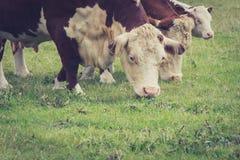 Kühe, die auf einem Gebiet, Großbritannien weiden lassen Stockfoto