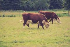 Kühe, die auf einem Gebiet, Lacock weiden lassen Stockfotografie