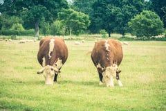 Kühe, die auf einem Gebiet weiden lassen Stockbilder