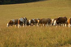 Kühe, die auf einem Gebiet weiden lassen Lizenzfreies Stockbild