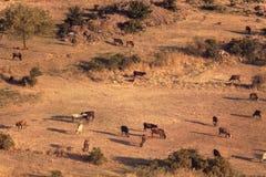 Kühe, die auf einem gelben Gebiet weiden lassen stockbild