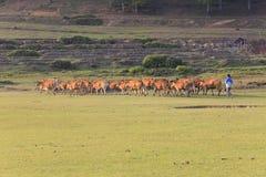 Kühe, die auf einem grünen Sommerfeld weiden lassen Stockfoto