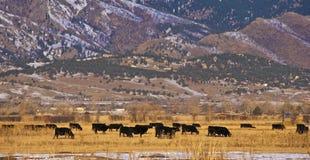 Kühe, die auf einem hellen goldenen Gebiet weiden lassen Stockfotos