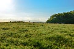 Kühe, die auf einem Löwenzahngebiet an einem prachtvollen Sommertag sich entspannen Lizenzfreies Stockbild