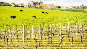 Kühe, die auf einem täglichen Bauernhof in Adelaide Hills weiden lassen Stockbilder