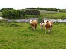 Kühe, die auf einer grünen Feldwiese weiden lassen Stockfotos