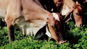 Kühe, die auf einer grünen Wiese in der Landschaft weiden lassen stock footage