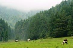 Kühe, die auf einer nebelhaften Wiese weiden Stockfotografie