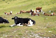 Kühe, die auf Gebirgsweide liegen Stockfotografie