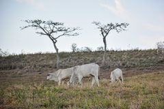 Kühe, die auf Gewännern in der Landschaft in BrazilÂs Nordosten weiden lassen lizenzfreie stockfotografie