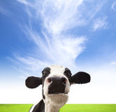 Kühe, die auf grünem Feld weiden lassen Lizenzfreies Stockbild