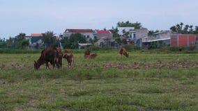 Kühe, die auf grüner Wiese weiden lassen stock video footage