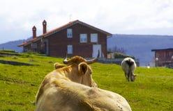 Kühe, die auf Gras stillstehen Stockbilder
