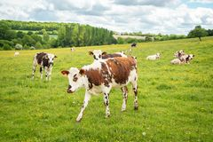 Kühe, die auf grasartigem grünem Feld in Perche, Frankreich weiden lassen Sommerlandschaftslandschaft und -weide für Kühe Lizenzfreie Stockfotos
