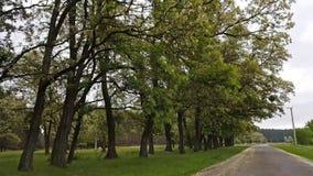 Kühe, die auf Rasen im Wald entlang der Straße weiden lassen Fahren hinunter eine Straße des alten Landes während des Frühlingsso stock video