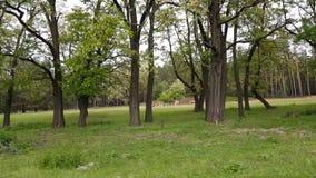 Kühe, die auf Rasen im Wald entlang der Straße weiden lassen Fahren hinunter eine Straße des alten Landes während des Frühlingsso stock footage