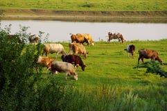 Kühe, die auf Weide weiden lassen Stockfotos