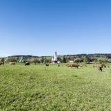 Kühe, die auf Weiden in der Schweiz weiden lassen Stockfoto