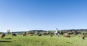 Kühe, die auf Weiden in der Schweiz weiden lassen Lizenzfreie Stockfotografie