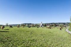 Kühe, die auf Weiden in der Schweiz weiden lassen Stockbild