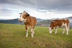 Kühe, die auf Wiese weiden lassen Stockbild