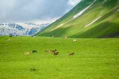 Kühe, die in den Bergen weiden lassen Stockbilder