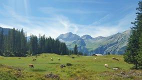 Kühe, die in den Schweizer Wiesen weiden lassen Lizenzfreies Stockfoto
