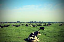 Kühe, die in der Ebene weiden lassen stockfoto