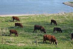 Kühe, die in der Naturlandschaft weiden lassen Lizenzfreie Stockbilder