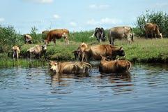 Kühe, die ein Bad im Fluss nehmen stockbilder