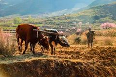 Kühe, die ein Feld in Lesotho pflügen lizenzfreie stockbilder