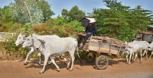 Kühe, die einen Warenkorb ziehen Stockfoto